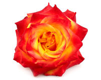 Bud of a yellow-red rose Royalty Free Stock Photography