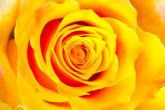 Bud of the yellow rose Royalty Free Stock Photos