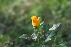 Bud yellow roses blooming. In the garden on dark green blurred background of thick grass Stock Image