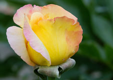 Bud yellow roses Royalty Free Stock Photography