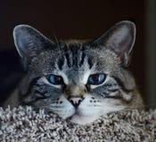 Buda furada grande Kitty Being Lazy fotografia de stock