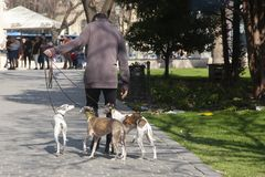 Budapest, Hungary - April 8, 2018: A dogwalker spending time with three dogs in an urban park on a sunny day royalty free stock image
