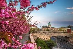 Budapest, Hungary - The famous Buda Castle Royal Palace on a Spring afternoon with blooming cherry blossom. At foreground royalty free stock image