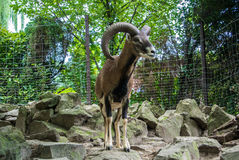 BUDAPEST, HUNGARY - JULY 26, 2016: Argali, a mountain goat with big horns at Budapest Zoo and Botanical Garden Stock Photography