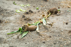 BUDAPEST, HUNGARY - JULY 26, 2016: Prairie dogs eating plants at Budapest Zoo and Botanical Garden Royalty Free Stock Photo