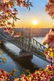 Budapest, Hungary - Spring has arrived at the beautiful Liberty Bridge with traditional yellow tram at sunrise. With cherry blossom at foreground royalty free stock images