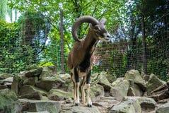 BUDAPEST, HUNGRIA - 26 DE JULHO DE 2016: Argali, uma cabra de montanha com os chifres grandes no jardim zoológico de Budapest e j Fotografia de Stock