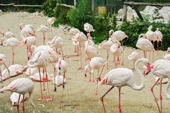 BUDAPEST, UNGARN - 26. JULI 2016: Ein viel von Flamingos an Budapest-Zoo und am botanischen Garten Lizenzfreies Stockfoto