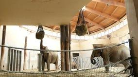 BUDAPEST, UNGARN - 5. JULI 2018: Im Zoo in einer speziellen Einschließung, essen Elefanten Heu, Gras von den speziellen Netzen stock video footage