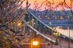 Budapest, Węgry - Czereśniowy okwitnięcie przy wiosna czasem z swoboda mostem przy tłem przy wschodem słońca Fotografia Royalty Free