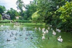 BUDAPEST WĘGRY, LIPIEC, - 26, 2016: Staw z pelikanami i innymi gatunkami wodni ptaki przy Budapest ogródem botanicznym i zoo Obrazy Stock