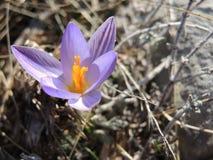 Budbäraren av våren Royaltyfri Foto