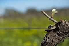 Budburst in Shiraz vineyard. Budburst of Shiraz grape in spring in organic vineyard in McLaren Vale, Australia royalty free stock image