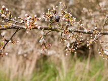 Budded Branch with a Single Dead Berry stock image