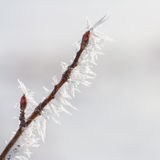 Budded Twig Covered in Hoar Frost stock photography