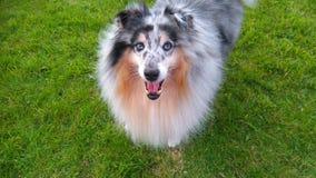 Fun in the sun. Buddy the Shetland sheepdog Stock Photography