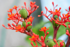 Buddha belly plant(Jatropha podragrica) Royalty Free Stock Images
