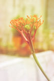 Buddha belly plant& x28;Jatropha podragrica& x29; Royalty Free Stock Image