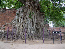 Buddha face in roots , Ayutthaya , Thailand Stock Image