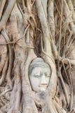 Buddha głowa w drzewie obraz royalty free