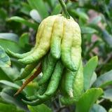 Buddha hand fruit Stock Photos