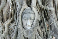 Buddha Head. In tree roots in Ayutthaya, Thailand royalty free stock image
