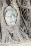 Buddha  Head Ayuthaya. Stone Buddha head in tree roots Ayuthaya Historical Park Thaialnd Royalty Free Stock Photo