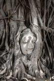 Buddha head in Banyan tree root. At Wat Mahatat, Ayutthaya, old capital of Thailand stock photos