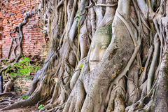 Buddha Head in Banyan Trees Stock Images