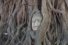 Buddha head cover by the tree Stock Photos