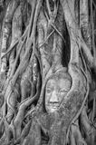 Buddha head covered by roots of a tree Stock Images