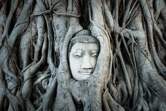 Buddha head covered by roots of a tree in Ayutthaya. Stock Images