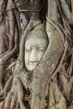 Buddha head encased in tree roots at the temple of Wat Mahatat i Stock Photos