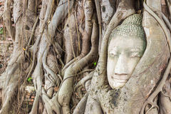 Buddha head encased in tree roots at the temple of Wat Mahatat i Royalty Free Stock Photos