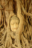 Buddha head encased in tree roots,Thailand Royalty Free Stock Photo