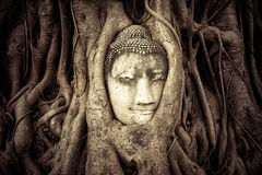Buddha Head hidden in the tree roots Royalty Free Stock Image