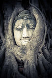 Buddha Head hidden in the tree roots Royalty Free Stock Photo