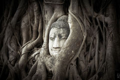 Buddha Head hidden in the tree roots Stock Image