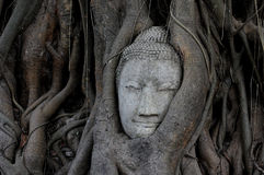 Buddha head overgrown by fig tree in Wat Mahathat Ayutthaya historical park Stock Photos