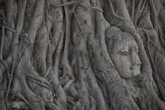 Buddha head overgrown by fig tree in Wat Mahathat that located in Ayutthaya historical park, the famous ancient temple in Thailand Royalty Free Stock Image