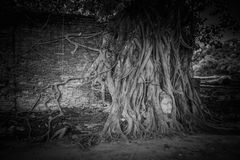 Buddha head overgrown with tree roots, Wat mahathat Ayutthaya, T Stock Photos