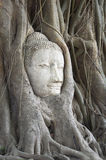 Buddha head in the roots Royalty Free Stock Image