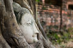 Buddha head in roots Royalty Free Stock Images