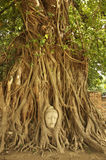Buddha head in the roots of an overgrown Royalty Free Stock Photos