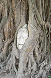 Buddha head in the roots of an overgrown fig tree Stock Image