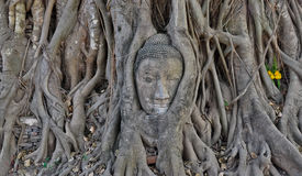 Buddha head in the roots of a tree Stock Photo