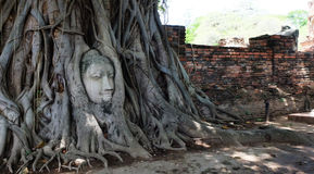 Buddha head in roots Royalty Free Stock Image