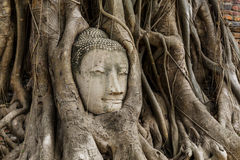 Buddha head statue in banyan tree Royalty Free Stock Images