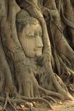 Buddha Head Statue. In Banyan Tree,Thailand Stock Image