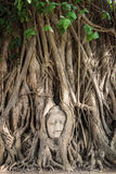 Buddha head statue inside bodhi tree. Buddha head statue inside the bodhi tree royalty free stock photo